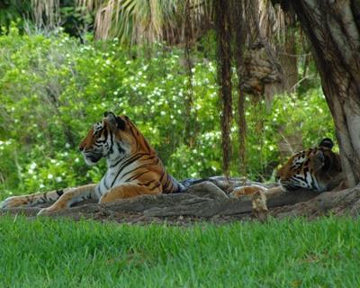 Smuk tiger i Bangladesh