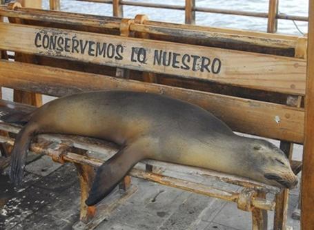 Sæl tager sig en lur på en bænk på Galapagos