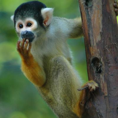 I Costa Rica og andre latinamerikanske lande møder du aber i naturen