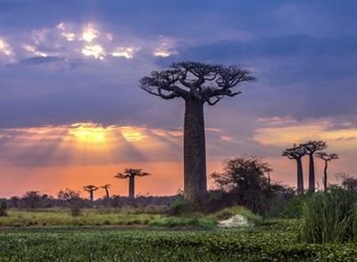 Solnedgang bag baobabtræer i Madagaskar