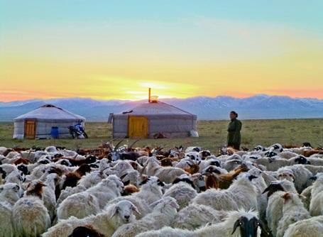 Nomade i Mongoliet med sine får