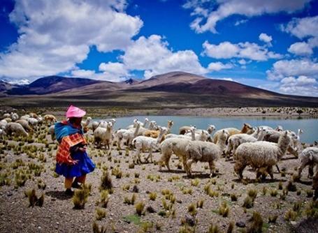 Lama-hyrde i Peru