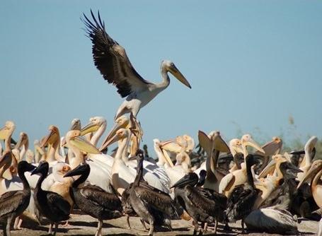 Djoudj fuglereservat i Senegal