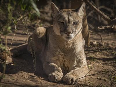 Puma ligger og slapper af i Argentina