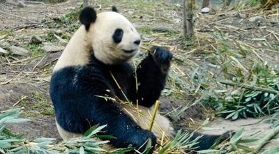 Dyrepasning af kæmpepandaer i Kina