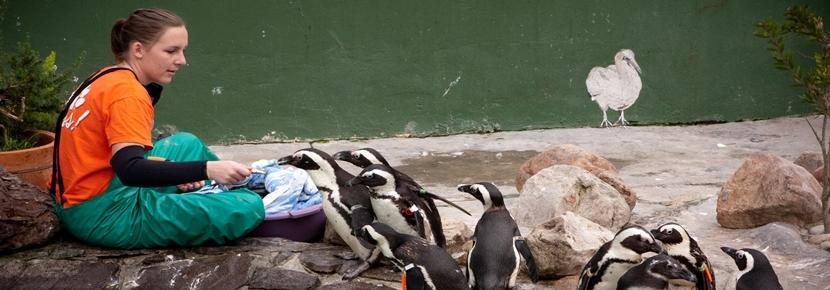 Dyrepasning af pingviner i Sydafrika