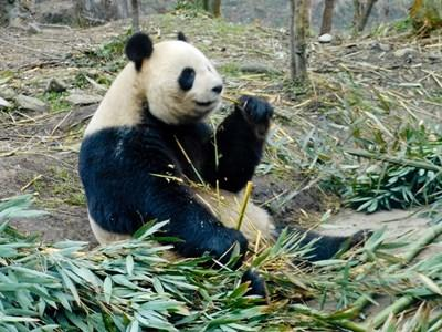 Den kinesiske kæmpepanda