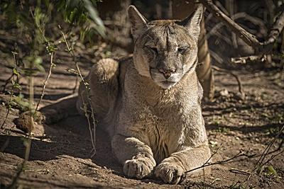 Puma i Argentina