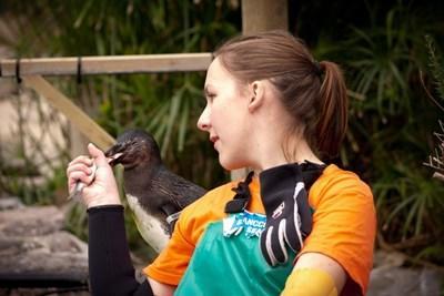 Frivillig fodrer en pingvin på dyrepasningsprojekt