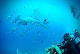 Hjælp med at styrke verdenshavenes økosystemer ved at beskytte truede hajarter i Stillehavet. På dette projekt vil du lære mere om og hjælpe med at beskytte hajbestanden i Fiji igennem research, dykning og praktiske arbejdsopgaver i fiskerlandsbyer.