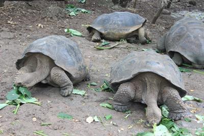 Kæmpeskildpadder på naturbevaringsprojekt i Ecuador