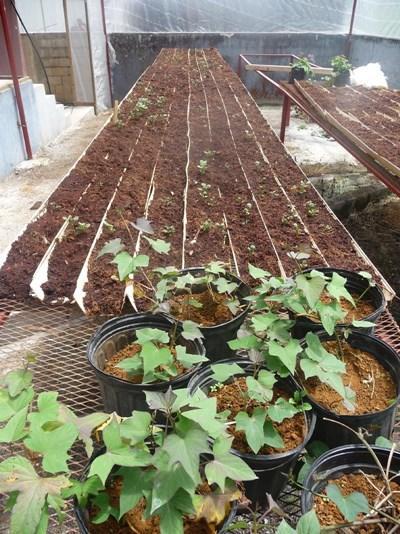 Landbrugsprojektet i Jamaica