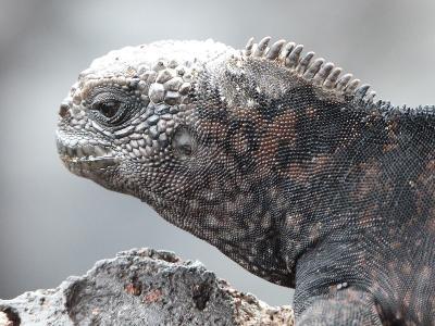 Havleguanen fra Galapagos på nært hold