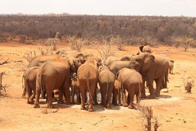 Elefanter samles om et vandhul i Sydafrika