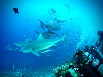 Frivillige dykker med tyrehajer i Fiji