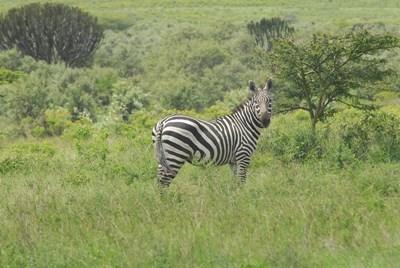 Zebra på den kenyanske savanne