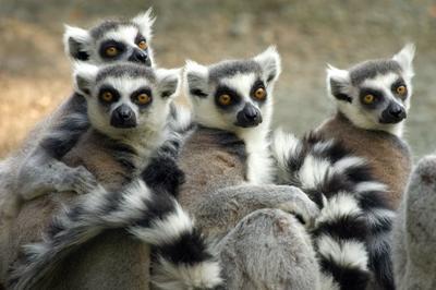 De endemiske lemur-aber fra Madagaskar