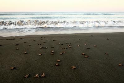 Frivillige bærer nyudklækkede skildpadder ned til havet