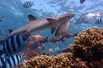 Hajprojekt i Fiji