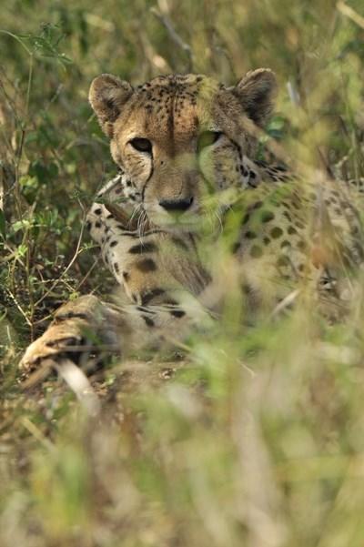 Gepard søger skygge under et træ i Botswana