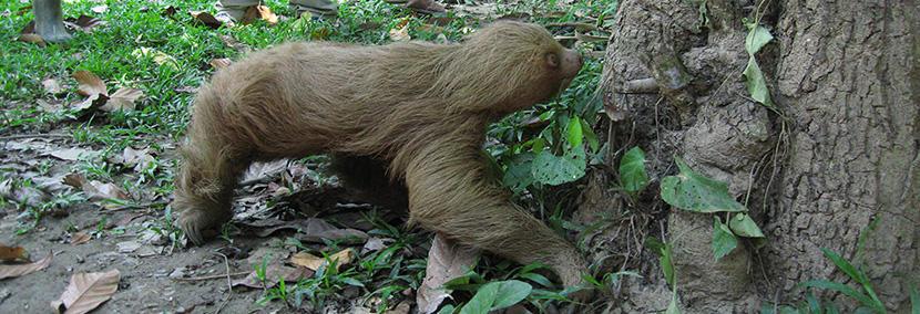 Dovendyr genudsættes i regnskoven i Peru