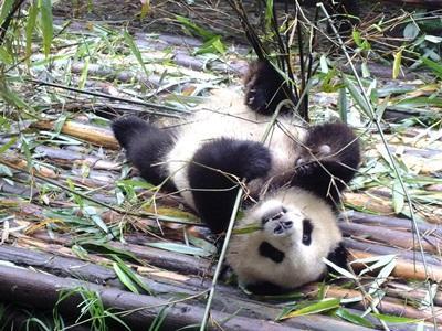 Pandaer har brug for beskyttelse mod udryddelse i Kina
