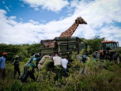 Frivillige kommer helt tæt på girafferne i Kenya