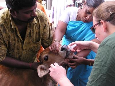 Arbejd som frivillig dyrelæge i et udviklingsland