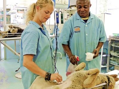 Frivillig og dyrelæge inden operation